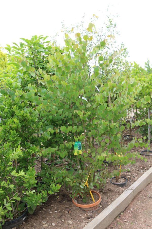 arbre-de-judée-2