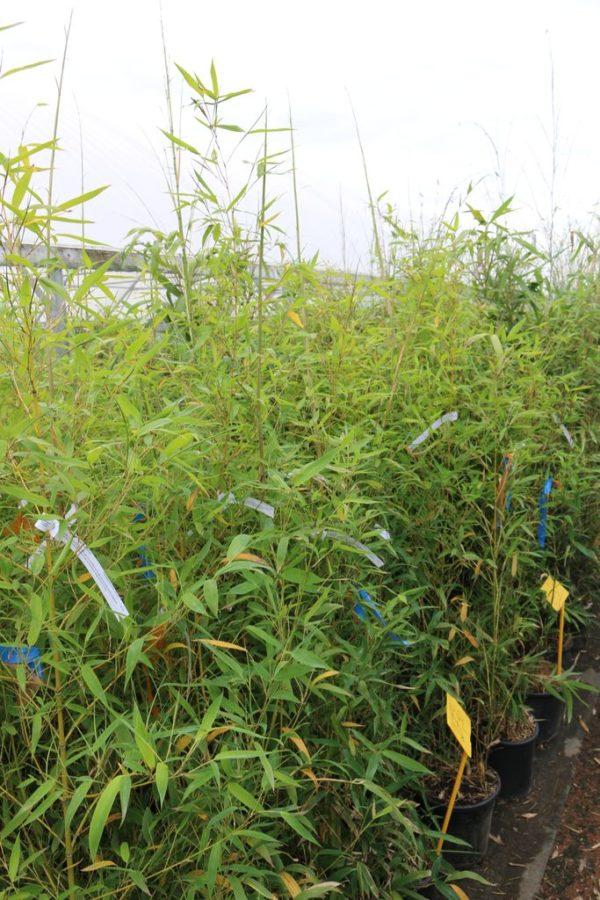 bambou-1