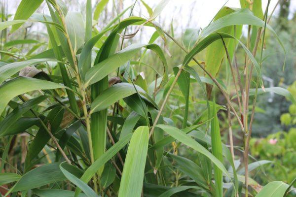 bambou-2