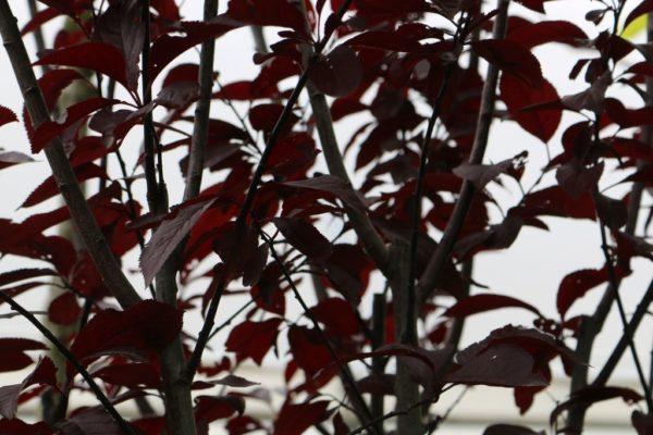 cerisier-à-fleurs-pissardii-1