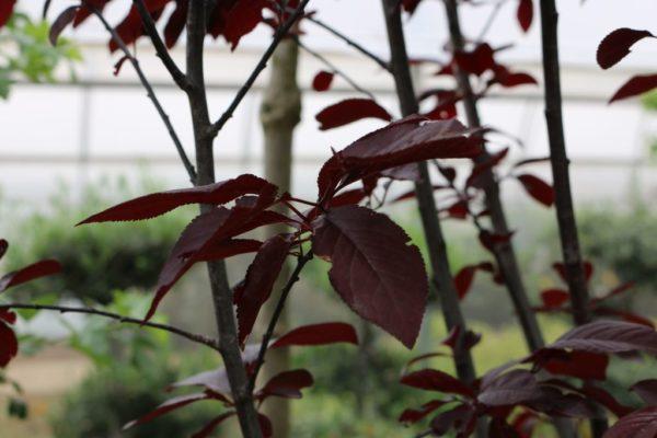 cerisier-à-fleurs-pissardii-2