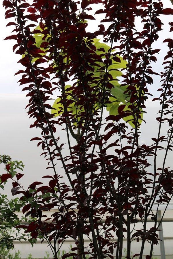 cerisier-à-fleurs-pissardii