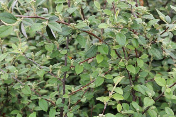 cotoneaster-franchetti
