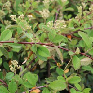 cotoneaster-lacteus-1