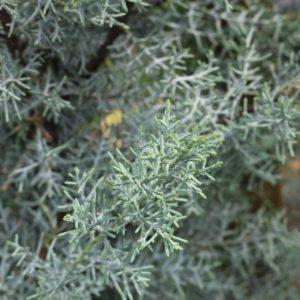 cyprès-lawson-2