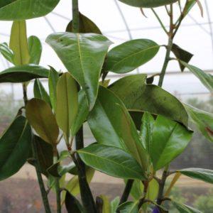 laurier-tulipier-magnolia-grandiflora-1